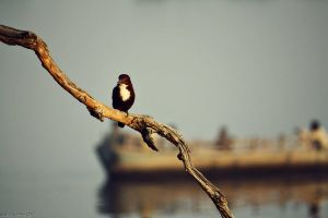 morning in mathura (2), kingfisher with boat by dth75