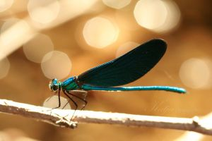 Dragonfly-Bokeh by Katja-Spectraliquid