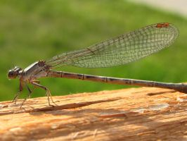 Dragon fly macro by izzy-the-hedgehog