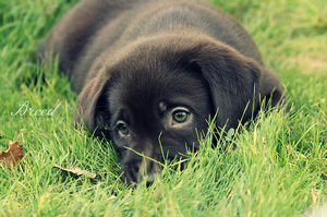 Puppy Labrador chocolate by Breed-Photography