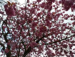 Cherry Blossom 2 by KindOfPoisonous