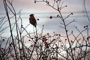 Waxwing by Victoria-Fletcher