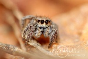 jumping spider 38 by JamesMedlin