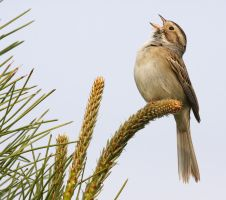 Clay-colored Sparrow II by Tucky13