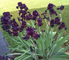 Dark Purple Iris by WDWParksGal