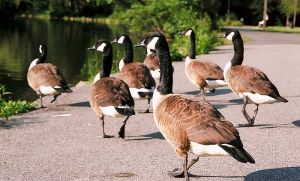 Geese On The Run. by loadedwatergun