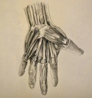 Hand anatomy by OcAmee