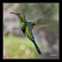 Hummingbird III by ricardsan