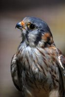 American Kestrel by robbobert