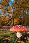 Fly Agaric 1 by Grunvald