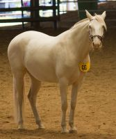 STOCK - 2014 Andalusian Nationals-196 by fillyrox