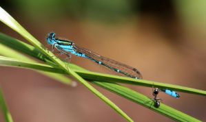 Ant trying to bite Common Blue Damselfly. by wolftraz