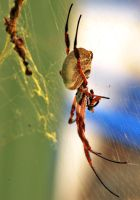 Golden Orb Weaver by Mutilator-Of-Cookies