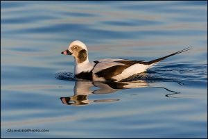 Long-Tailed duck by gregster09