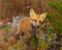 Red Fox 2 by Les-Piccolo