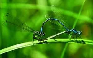 Coenagrion puella by blackasmodeus