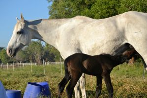 Warmblood mare and foal 2 by PeanutGregory
