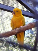 Golden Conure Parrot by megh95