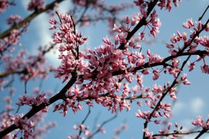 Redbud 3 by edgyqueen