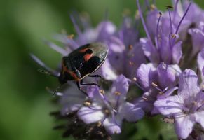 Two-Spotted Stink Bug by reenaj