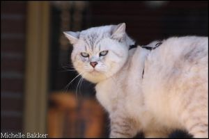 British Shorthair Master by MichelleB-Stock
