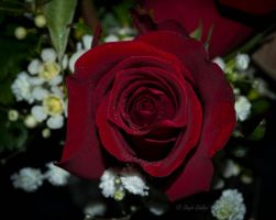 Sweet as a Rose by StephGabler