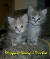 2 Maine Coon kitten by Catskind