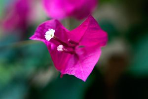 Pink Lensbaby Flower by LDFranklin