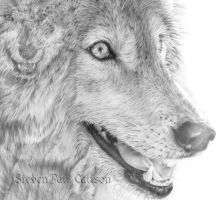 Wolf close-up by spcarlson