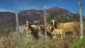 Cheeese ... (sheep) !! - HDR by yoctox