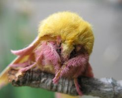 Rosy Maple Moth III by Dellessanna
