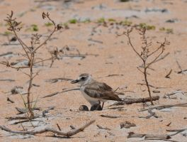 Wilson's Plover by lvadams