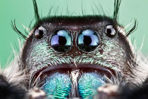 Canopy Jumping Spider - Phidippus otiosus by ColinHuttonPhoto