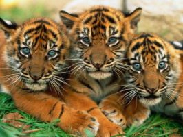 3 Cute Baby Tigers by SuperSayian5Naruto