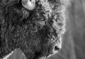 Wood Bison - Sad Eyes by JestePhotography