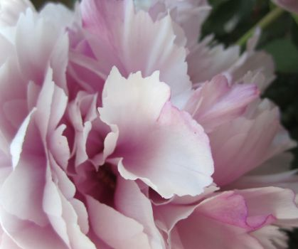 Peony by youknowthatgirl