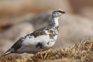Ptarmigan - breeding plumage by Jamie-MacArthur