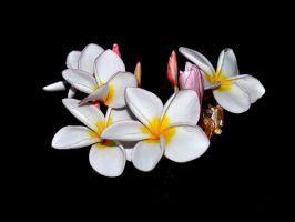 Plumeria X by nordfold