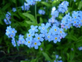 little blue flowers by Shadow-Adawa