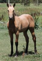Buckskin Filly 21 by How-You-Remind-Me