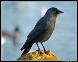 Jackdaw by andy-j-s