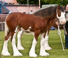 Clydesdale foal 6 by Kennelwood-Stock