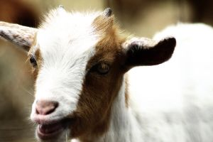Baby Goat 2 by S-H-Photography