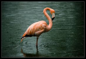 Flamingo in the rain by lomoboy