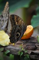 Owl Butterfly by rayrussell2000uk