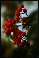 Rowanberry by momary