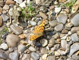 Butterfly on pebbles by thebluemaiden