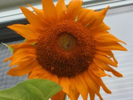 Orange Sunflower by rockstarr411