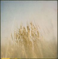 Typha by JillAuville