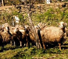 sheeps l by pedromiguelgomes